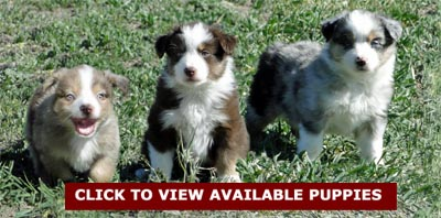 View the Mini Aussie puppies available at We'll C Mini Aussies.