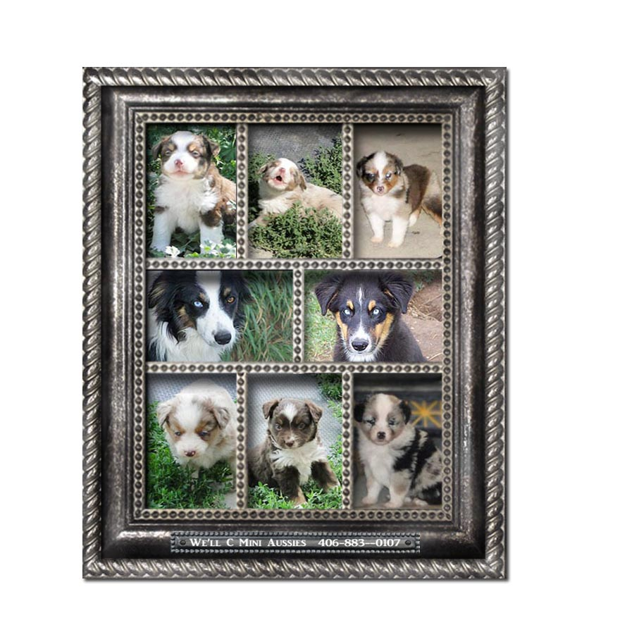 Mini Aussie puppies for sale.  We'll C Mini Aussies' past puppies, page 5.