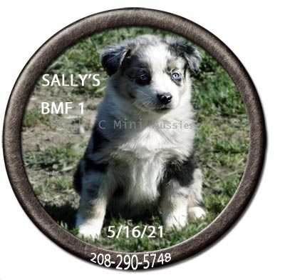 Mini Aussie puppies for sale at We'll C Mini Aussies. Sally's blue Merle female #1 taken May 16, 2021.