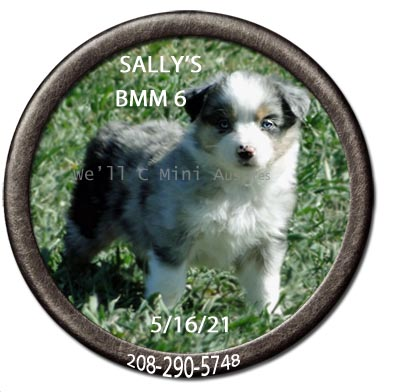 Mini Aussie puppies for sale at We'll C Mini Aussies.  Sally's blue Merle male #6 taken May 16, 2021.