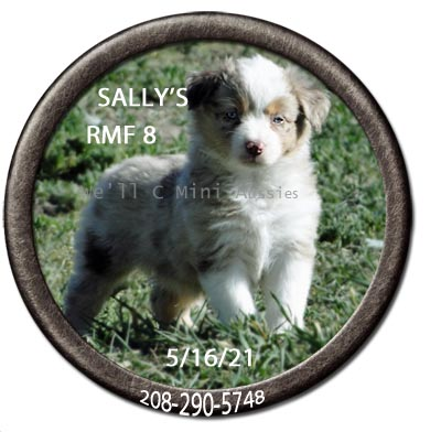 Mini Aussie puppies for sale at We'll C Mini Aussies. Sally's red Merle female #8 taken May 16, 2021.