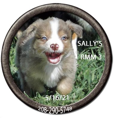 Mini Aussie puppies for sale at We'll C Mini Aussies. Sally's red Merle male #3 taken May 16, 2021.