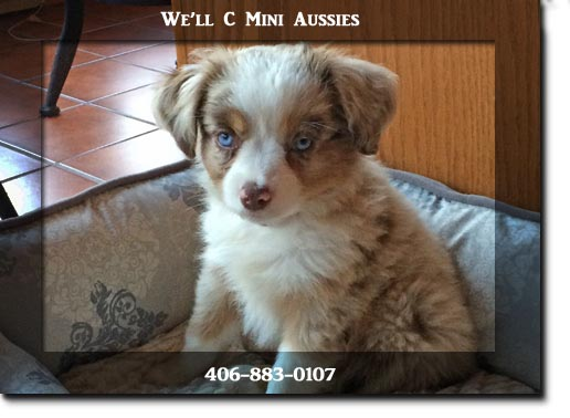 Mini Aussie puppies for sale at We'll C Mini Aussies.  Another happy family.