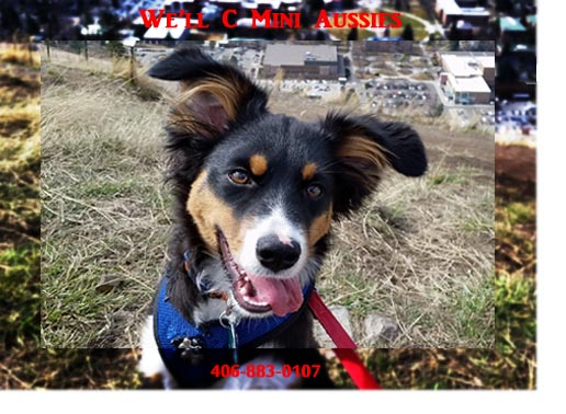 Another Mini Aussie success story for We'll C Mini Aussies.