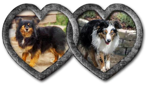Raven and Deuce had a new litter of Toy Aussie Shepherd puppies born on May 30, 2021