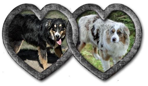 Sally and Chance had a litter of Mini Australian Shepherd puppies on April 4, 2021.